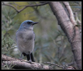 Mexican Jay on the Carrie Nation trail, Madera Canyon, Arizona, November 2011