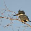 Belted Kingfisher (Megaceryle alcyon) Scottsdale AZ