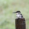 Green Kingfisher (Chloroceryle americana) Santa Ana NWR, McAllen TX
