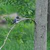 Belted Kingfisher (Megaceryle alcyon) Middleville MI
