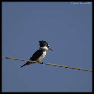 Belted Kingfisher, Salton Sea, Imperial County, California, November 2009