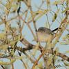Black-tailed Gnatcatcher (Polioptila melanura) Tonapah AZ