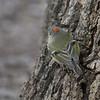 Ruby-crowned Kinglet (Regulus calendula) Brackenridge Park, San Antonio TX
