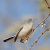 Blue-gray Gnatcatcher (Polioptila caerulea) Phoenix, AZ
