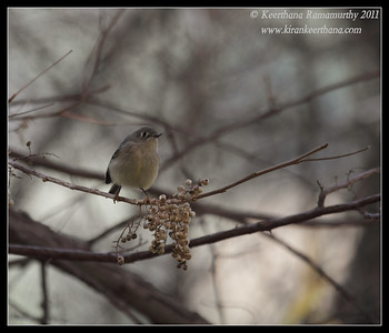 Ruby-crowned Kinglet at the Madera Kubo feeders, Madera Canyon, Arizona, November 2011