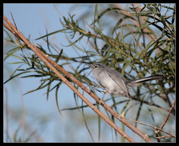 Blue-gray Gnatcatcher, near Anza Borrego Desert State Park visitor center, San Diego County, California, October 2011
