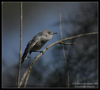 Blue-gray Gnatcatcher, Lower Otay Lake, San Diego County, California, October 2011