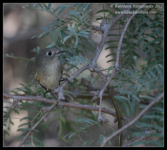 Ruby-crowned Kinglet, Salton Sea, Imperial County, California, November 2012
