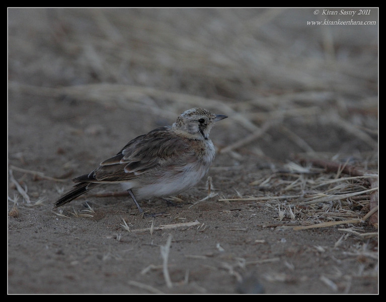 Juvenile Horned Lark, Robb Field, San Diego River, San Diego County, California, August 2011