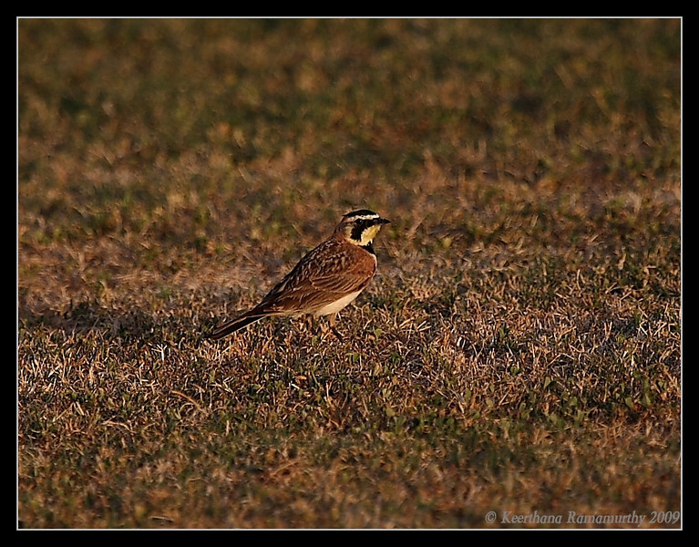 Horned Lark, Robb Field, San Diego County, California, May 2009