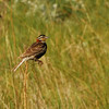 Chestnut-collared Longspur (Calcarius ornatus) near Long Lake NWR, ND