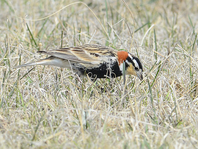 Longspurs and Snow Bunting