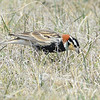 Chestnut-collared Longspur (Calcarius ornatus) Long Lake NWR, ND