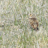 Chestnut-collared Longspur (Calcarius ornatus) female, Long Lake NWR, ND