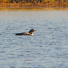 Common Loon (Gavia immer) Burleigh County, ND