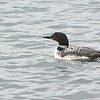 Common Loon (Gavia immer) Yellowstone NP, WY