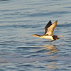 Pacific Loon (Gavia pacifica) La Jolla, CA