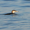 Common Loon (Gavia immer) Panama City, FL