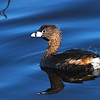 Pied-billed Grebe (Podylimbus podiceps)