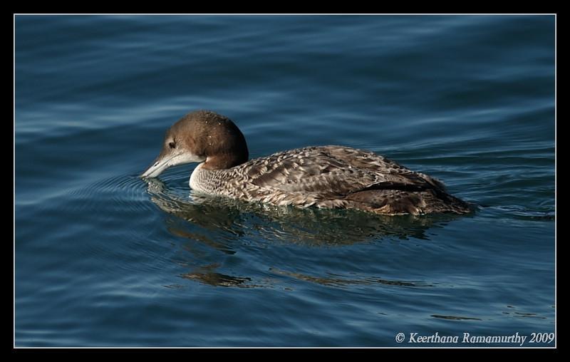 Common Loon, Oceanside Harbor, San Diego County, California, January 2009