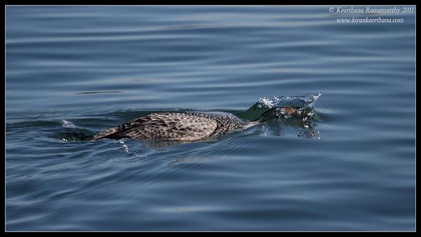 Common Loon diving, Coronado Ferry Landing, San Diego County, California, December 2011