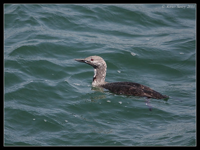 Red-throated Loon in breeding plumage, Imperial Beach Pier, San Diego County, California, April 2010