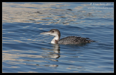 Common Loon, Coronado Ferry Landing, San Diego County, California, December 2011