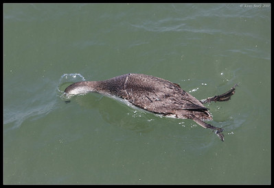 Red-throated Loon diving, Imperial Beach Pier, San Diego County, California, April 2010