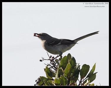 Northern Mockingbird, San Elijo Lagoon, San Diego County, California, February 2011