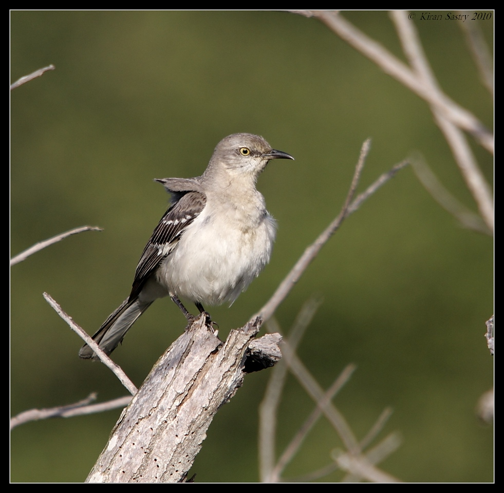 Northern Mockingbird, San Elijo Lagoon, San Diego County, California, March 2010