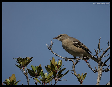 Northern Mockingbird, Santee Lakes, San Diego County, California, October 2009