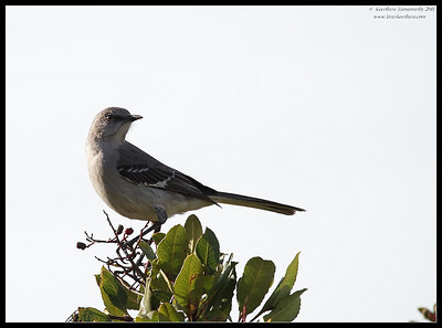 Northern Mockingbird, San Elijo Lagoon, San Diego County, California, February 2011