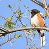 Spotted Towhee (Pipilo maculatus) Mandan ND
