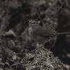 Olive Sparrow (Arremonops rufivirgatus) Santa Ana NWR, TX