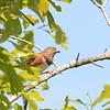 Eastern Towhee (Pipilo erythrophthalmus)) Cape Romain NWR, Charleston SC