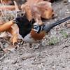 Spotted Towhee (Pipilo maculatus) Madera Canyon, AZ