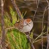 Rufous-crowned Sparrow (Aimophilla ruficeps) Patagonia Lake SP, AZ