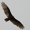 Turkey Vulture (Cathartes aura) Garrison Dam, Pick City ND