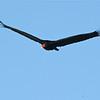 Turkey Vulture (Cathartes aura) Alligator River NWR, NC
