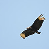 Black Vulture (Coragyps atratus) Pearl River WMA, Madison Co., MS