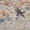 Turkey Vulture (Cathartes aura) North Morton County, ND