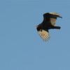 Turkey Vulture (Cathartes aura) Pea Island NWR, NC