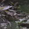 Common Pauraque (Nyctidromus albicollis) Quinta Mazatlan Preserve, McAllen TX
