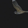 Lesser Nighthawk (Chordeiles acutipennis) Terlingua TX