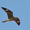 Common Nighthawk (Chordeiles minor) near Long Lake NWR, ND