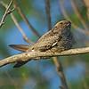 Common Nighthawk (Chordeiles minor) Mandan, ND