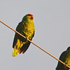 Red-lored Parrot (Amazona autumnalis) Brownsville TX