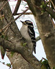 Downy Woodpecker, Virginia