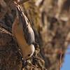 White-breasted Nuthatch (Sitta carolinensis) Bismarck, ND