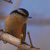 Red-breasted Nuthatch (Sitta canadensis) Bismarck, ND